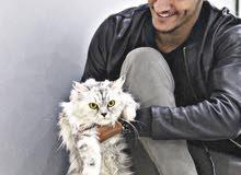 قطة شيرازي للتزاوج
