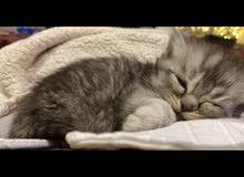 قطط شيرازي صغيرة جدًا