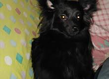 كلب لولو جيرفون ثعلبي