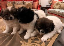 كلاب دلع فرنسي