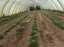 بيت محمية زراعية طول 42 متر حديد سعودي قوي