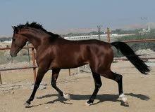 حصان عربي فحل فلات ريس