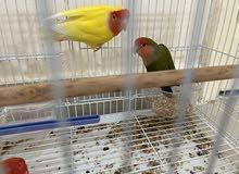 two love bird