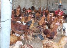 دجاج فرنسي بيور لللبيع