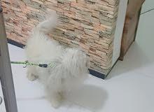 كلب للبيع السعر 300 الف مكان بغداد كاضميه