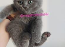 open for booking Scottish fold kitten by german breeder
