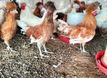دجاج زینه بولش
