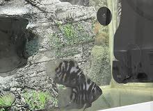 سمك سيكليد مع حوض كامل معداته