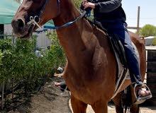 حصان للبيع العمر 7