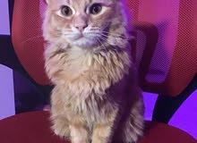 7 month old ginger kitten for sale