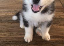 كلب هاسكي عمره شهر