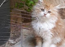 قطط للبيع بي 400دينار واحده عمرها ثالت شهور 2نوع ذكر وانثي هماليه  ام فارسي