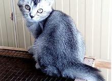 قطه برتش عمرها شهرين سعر منخفض