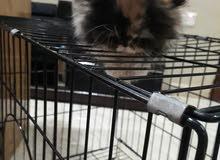 قطه كيليكوا