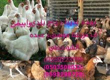 دجاج بلدي و الابيض