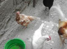 دجاج عرب 7للبيع ست دجاجات وديح الوحده15
