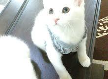 قطط شيرازي ميكس العمر ثلاث شهور ذكر