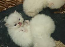 قطط بكي فيس للحجز/بيع من اب وام بيكي فيس.