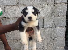 عمر الكلبه شهرين