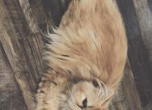 قط بيكي فيس ذكر