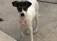 كلب مهجن ولعوب العمر 3شهور ونص