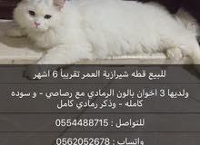 قطة شيرازية العمر 6 اشهر تقريباً
