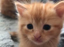 للبيع قطط شيرازي 2 . العمر شهراين واسبوع نوع انثى لون مشمشي