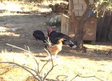 ديك حبش ودجاجتين