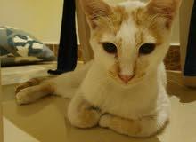 Male kitten for adoption