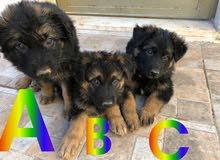 3 german shepherd puppies  ثلاث جراء جيرمان