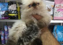 cat persian himaliyan kitten