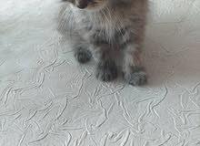 قط انثى فارسية