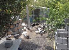 بط عماني محلي يرقد على البيض مضمون