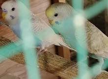 زوجين طيور  حب ونثيتين وثنين افراخ