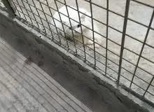 قطط شيرازي الاصلي عيون زرق للبيع الحبه أربعين بسعر مغري