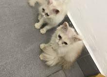 قطتين شيرازيات