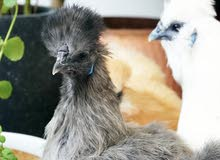 Silkie Chickens for sale, adults & chicks