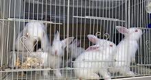 ارانب كاليفورنيا   California rabbits