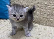 قطة انثى رمادي اللون للحجز