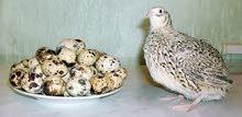 بيض سمان طازج للاكل والتفقيس