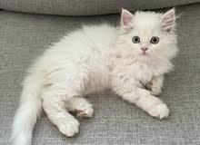 قطة صغيرة شيرازي جميلة