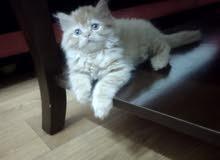 sherazi kitten