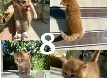 قطط الفية صغيرة للبيع بسعر مغري !
