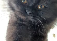Black Persian cat 4 month old