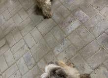 كلاب شتزو