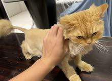 Persian cat female