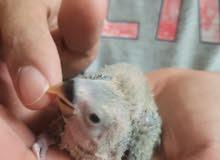 فروخ لوفبيرد lovebird chicks