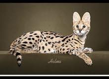 مطلوب قط الساڤانا أو السيرفال  كات
