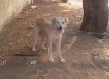 كلب ريفي مهجن زكر عندو عين كعبة