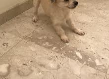 كلب (انثى) عمر سنتين جميله جداً واليفه ولعوبه/انا ماني مستعجله على البيع اللي يناسبه السعر اهلاً